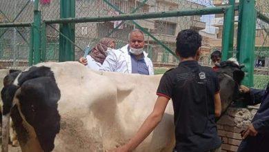Photo of محافظة الدقهلية يتابع أعمال الحملة القوميه للتحصين ضد مرض الجلد العقدي للأبقار وجدري الأغنام