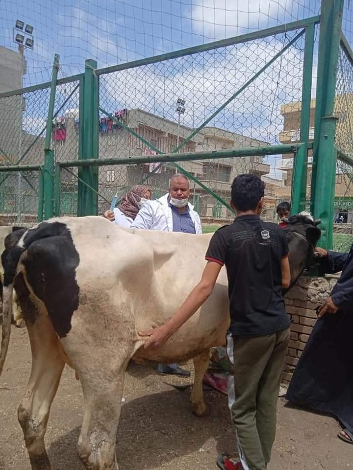 محافظة الدقهلية يتابع أعمال الحملة القوميه للتحصين ضد مرض الجلد العقدي للأبقار وجدري الأغنام